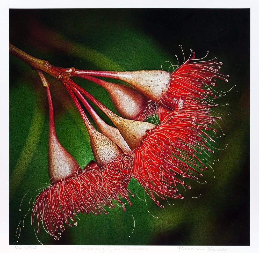 Flowering Gum Blossom - 2012